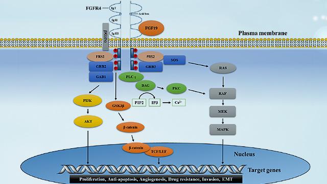 靶向治疗整体解决方案-FGF19