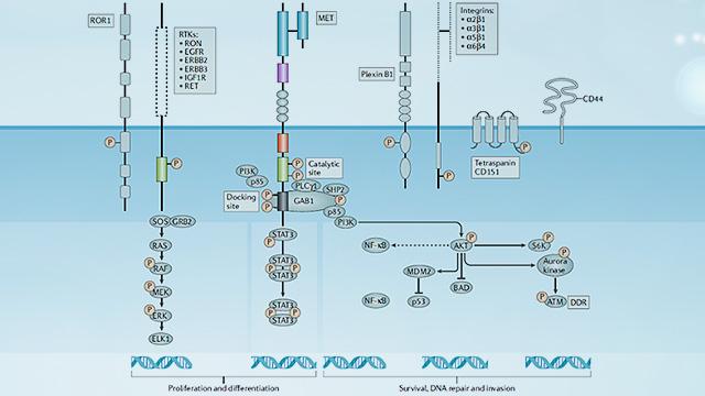 靶向治疗整体解决方案-c-MET